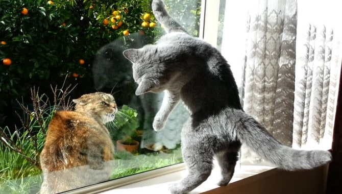 Are British Shorthairs Cats Friendly?