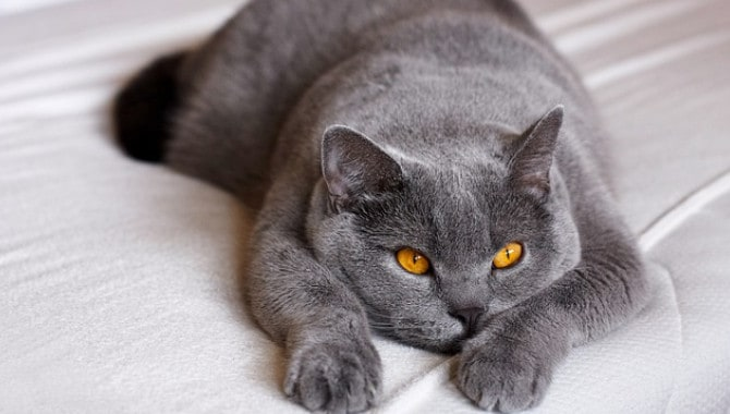 Are British Shorthairs Good Indoor Cats?