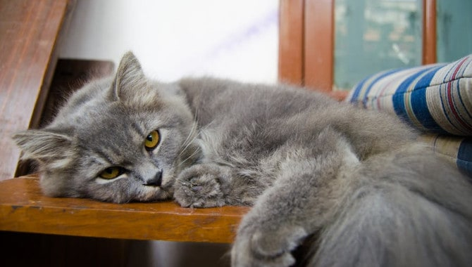 Can British Shorthair Cats Be Left Alone?