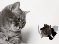 Do British Shorthair Cats Catch Mice?