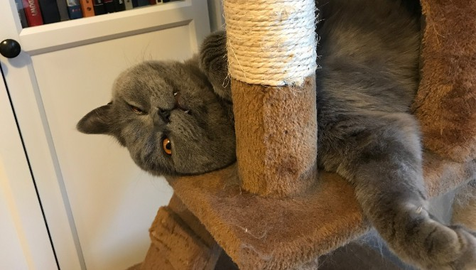 Do British Shorthair Cats Shed A Lot