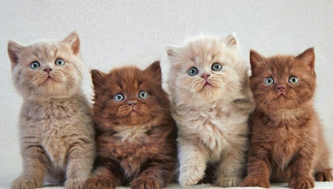 What are the most common British Shorthair Colours
