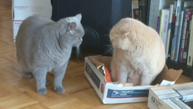 What is the British Shorthairs personality?