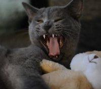 Are British Shorthair Cats Aggressive?