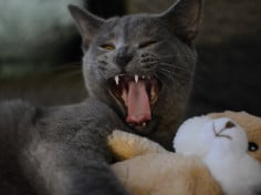 Are British Shorthair Cats Aggressive?