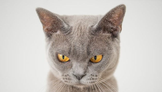 Are British Shorthair Cats Brachycephalic?