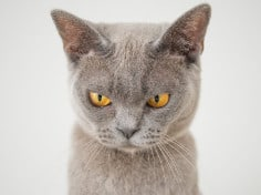 Are British Shorthair Cats Brachycephalic?