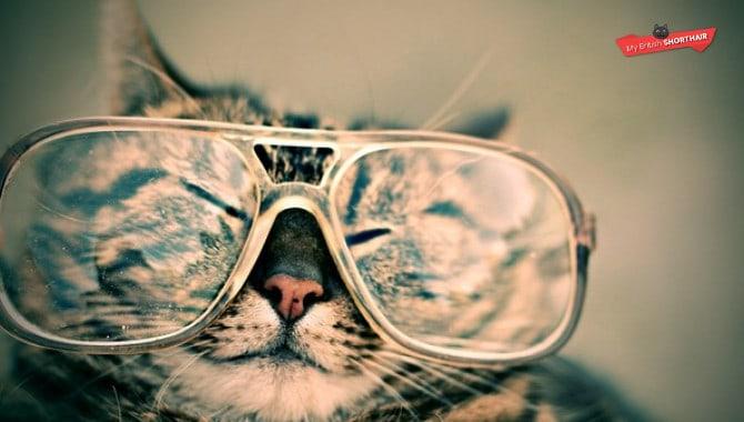 Are British Shorthair Cats Intelligent? – My British Shorthair