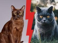 British Shorthair vs Burmese Cat