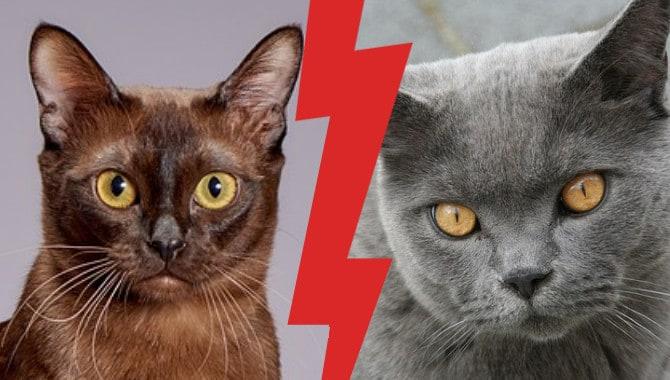 British Shorthair Vs Burmese Cat Full Guide My British Shorthair
