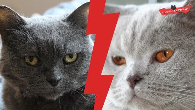 British-Shorthair-vs-Chartreux