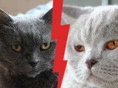British-Shorthair-vs-Chartreux-Cat-FE