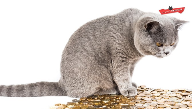 British-Shorthair-vs-Chartreux-Cat-Price