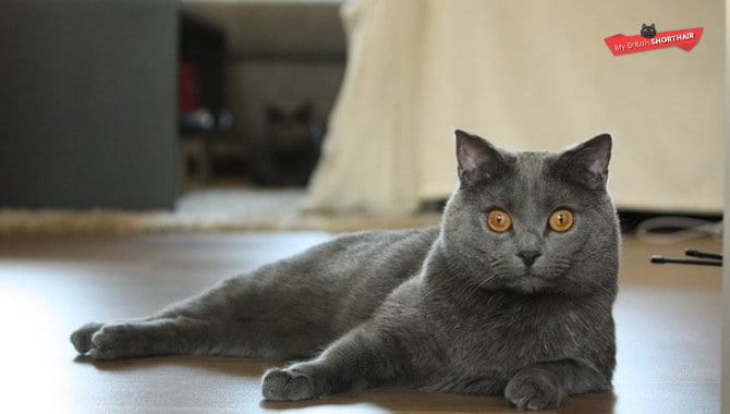 British-Shorthair-vs-Chartreux-Cat-weight