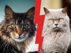 British-Shorthair-vs-Maine-Coon-best-first-cat