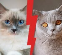 British Shorthair vs Ragdoll