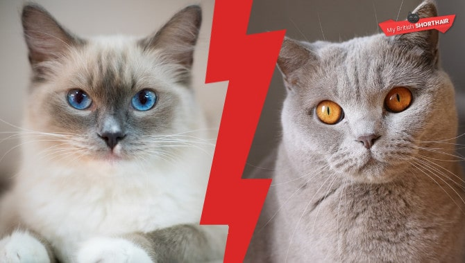 British Shorthair vs Ragdoll – Best First Cat – My British