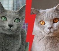 British Shorthair vs Russian Blue
