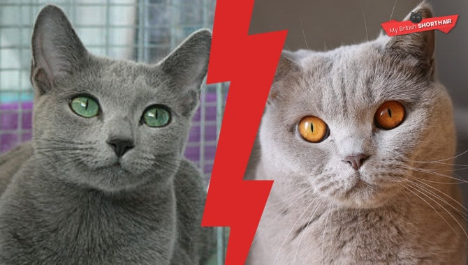British Shorthair vs Russian Blue – My British Shorthair
