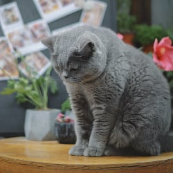 British Shorthairs are such a great choice if you have kids