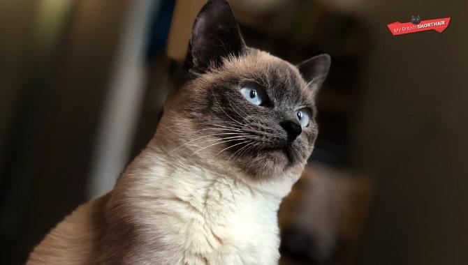 Do British Blue Kittens Eyes Change Colour