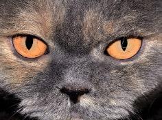 Do British Blue Kittens Eyes Change Colour?