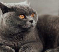 Do British Shorthair Cats Like Cuddles?