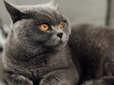 Do British Shorthair Cats Like Cuddles?