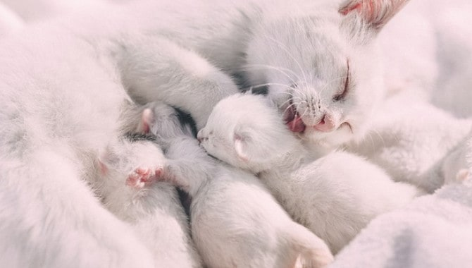 How Long Are British Shorthairs Pregnant For?