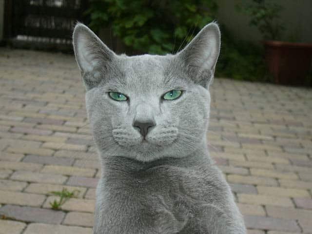 Russian_Blue_cat