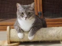 What Is The Best Size Of Scratching Post For British Shorthair?