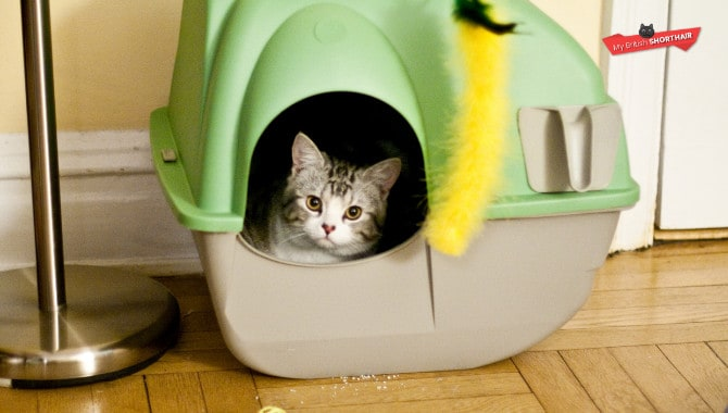 What Size Of Litter Box For British Shorthair?