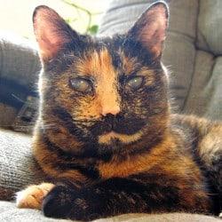 british-shorthair-cat-cataracts