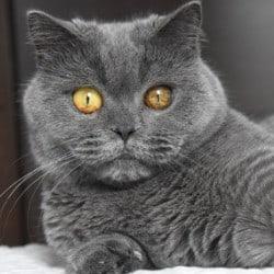 british-shorthair-cat-eye-infection
