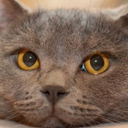 How Much Does A British Shorthair Cat Cost (US/UK/AU)? – My