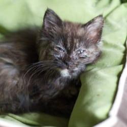 british-shorthair-cat-glaucoma