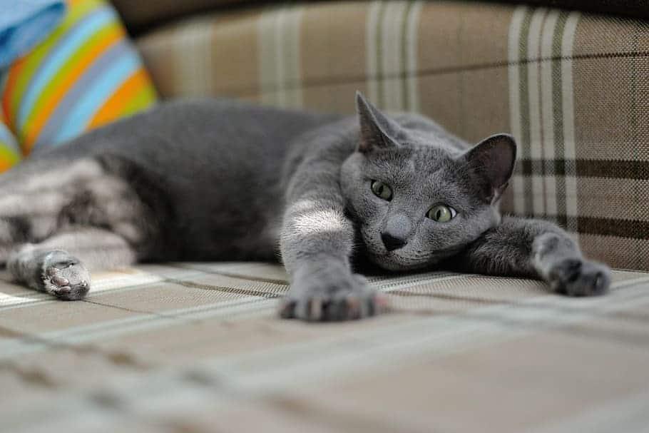cat-russian