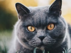 How Much Does A British Shorthair Cat Cost (US/UK/AU)? – My British