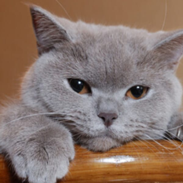 British Shorthair Cat Facts And Breed Information My British Shorthair