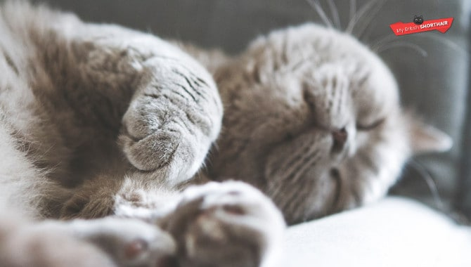 15 Ways to Keep Your British Shorthair Healthy and Happy