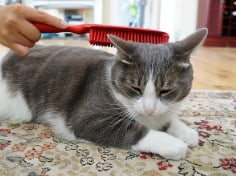 17 Grooming Tips For British Shorthairs