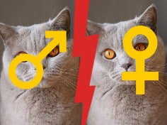 British Shorthair Female Vs Male Cat