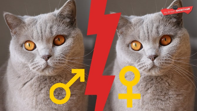 British Shorthair Female Vs Male Cat My British Shorthair