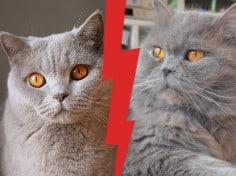 British Shorthair vs British Longhair