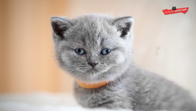How To Choose a British Shorthair Kitten?