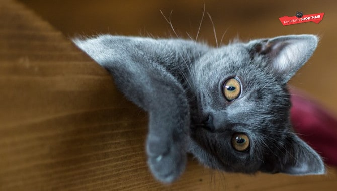 When Are British Shorthair Cats Full Grown?