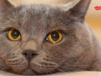 Why is my British Shorthair limping?