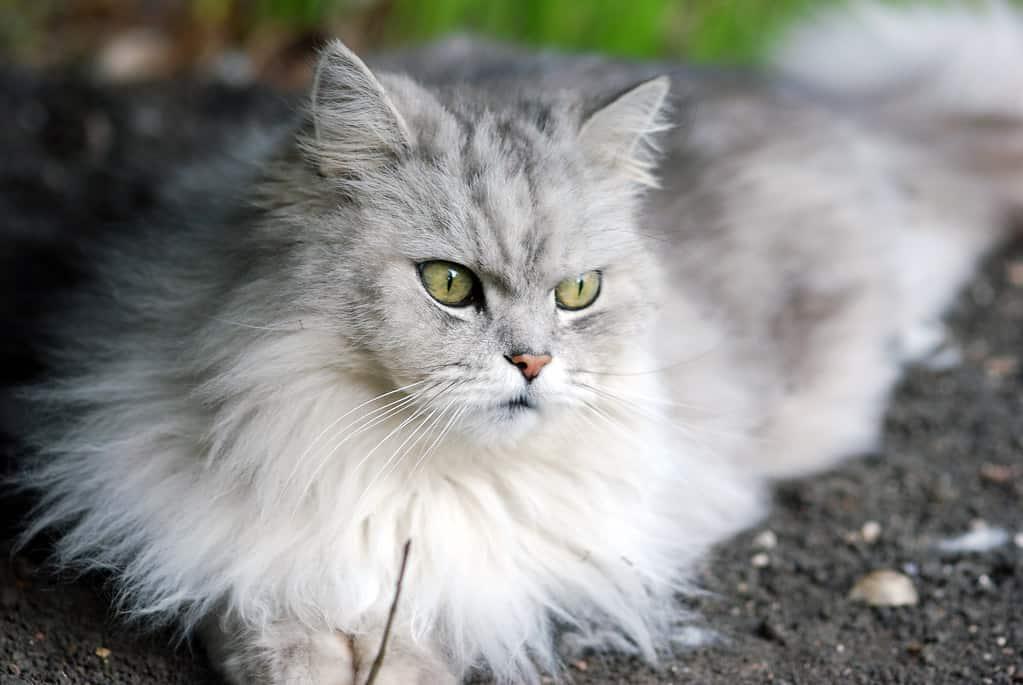 longhair british cat