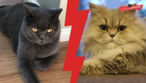 British Shorthair Rr Persian Cat?