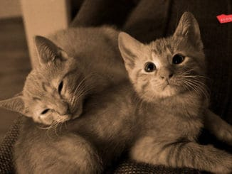 British Shorthairs: One Or Two?